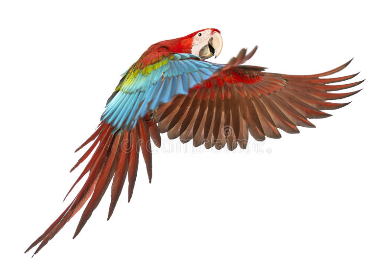 Green-winged Macaw, Ara chloropterus, 1 year old, flying. In front of white background royalty free stock images