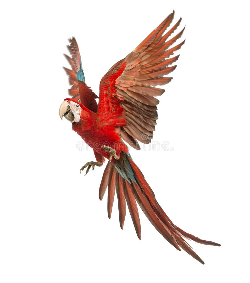 Green-winged Macaw, Ara chloropterus, 1 year old, flying. In front of white background royalty free stock photography