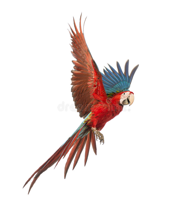 Green-winged Macaw, Ara chloropterus, 1 year old, flying. In front of white background stock photo