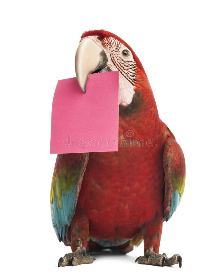 Green-winged Macaw, Ara chloropterus, 1 year old, holding a pink card in its beak, a post-it. In front of white background stock photos