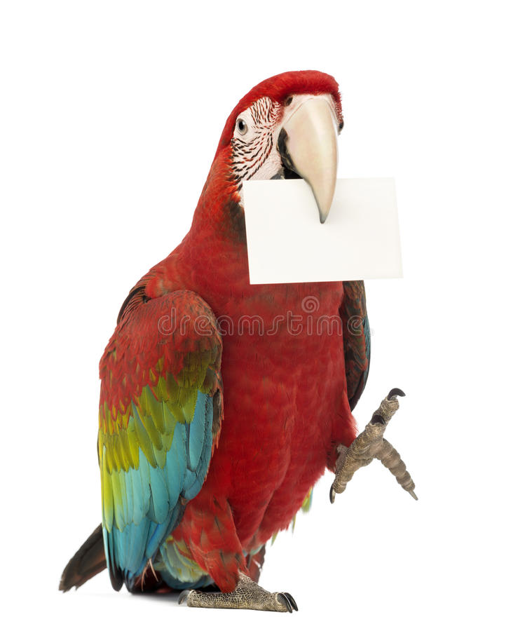 Green-winged Macaw, Ara chloropterus, 1 year old, holding a white card in its beak. In front of white background stock photos