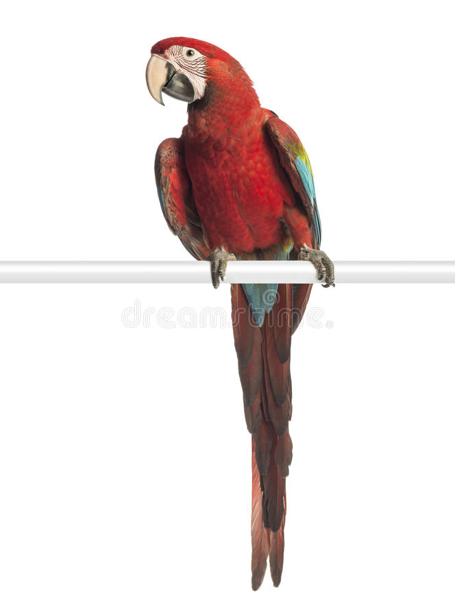 Green-winged Macaw, Ara chloropterus, 1 year old, perched. In front of white background stock photos