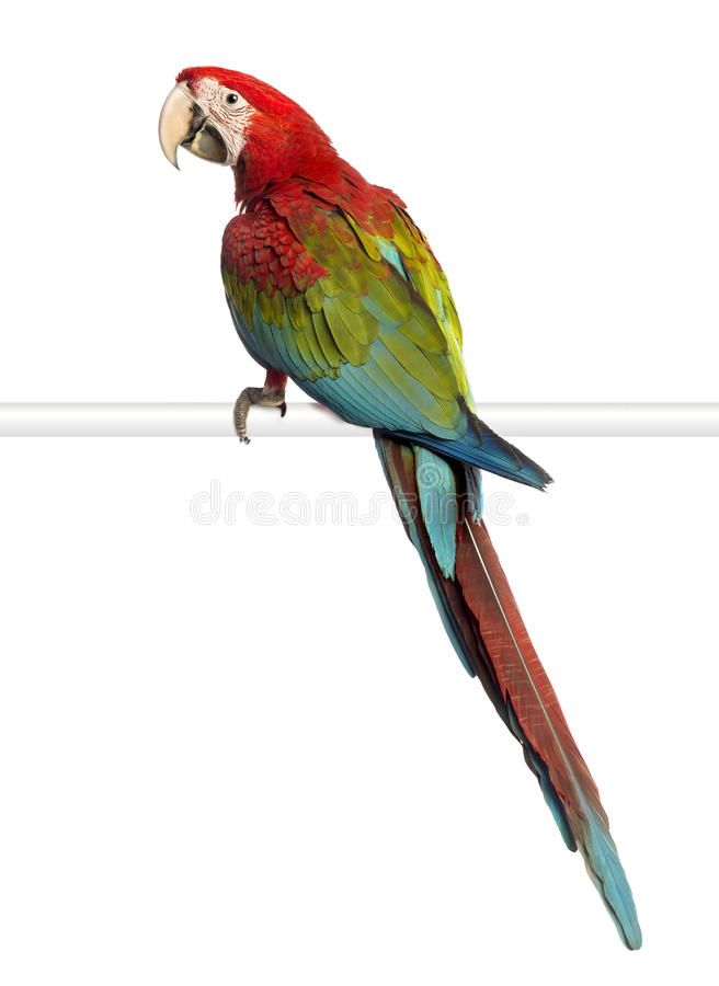 Green-winged Macaw, Ara chloropterus, 1 year old, perched. In front of white background stock photo