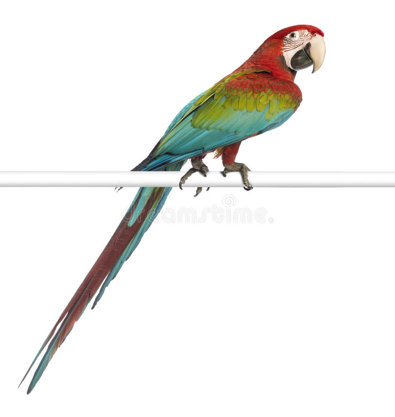 Green-winged Macaw, Ara chloropterus, 1 year old, perched. In front of white background stock images