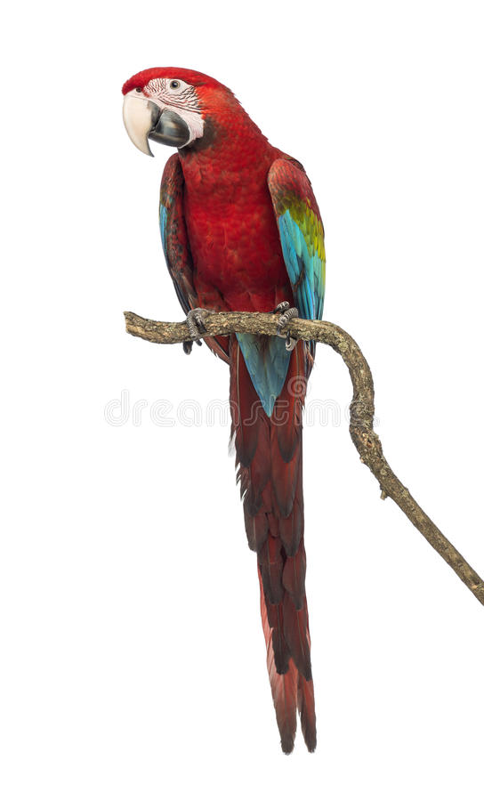 Green-winged Macaw, Ara chloropterus, 1 year old, perched on branch. In front of white background stock photos
