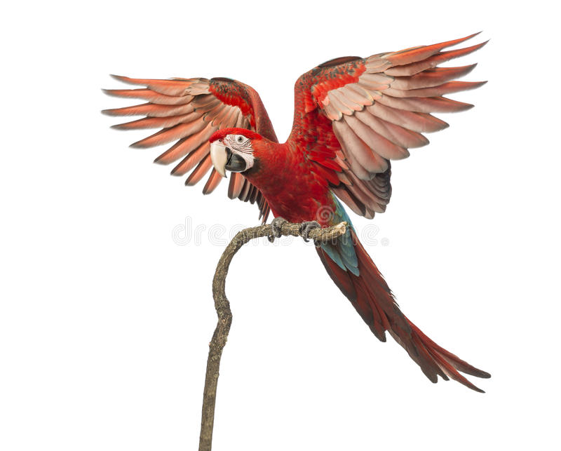 Green-winged Macaw, Ara chloropterus, 1 year old, perched on branch with its wings spread. In front of white background royalty free stock image
