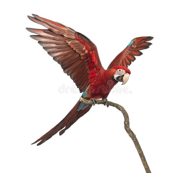 Green-winged Macaw, Ara chloropterus, 1 year old, perched on branch with its wings spread. In front of white background royalty free stock images