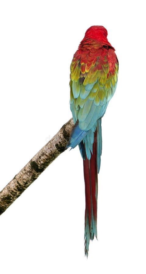 Download Green-winged Macaw - Ara Chloropterus (18 Months) Royalty Free Stock Image - Image: 8419156