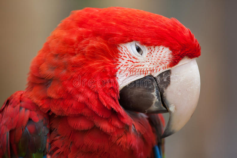 Green-winged macaw (Ara chloropterus). Also known as the red-and-green macaw. Wildlife animal stock photos