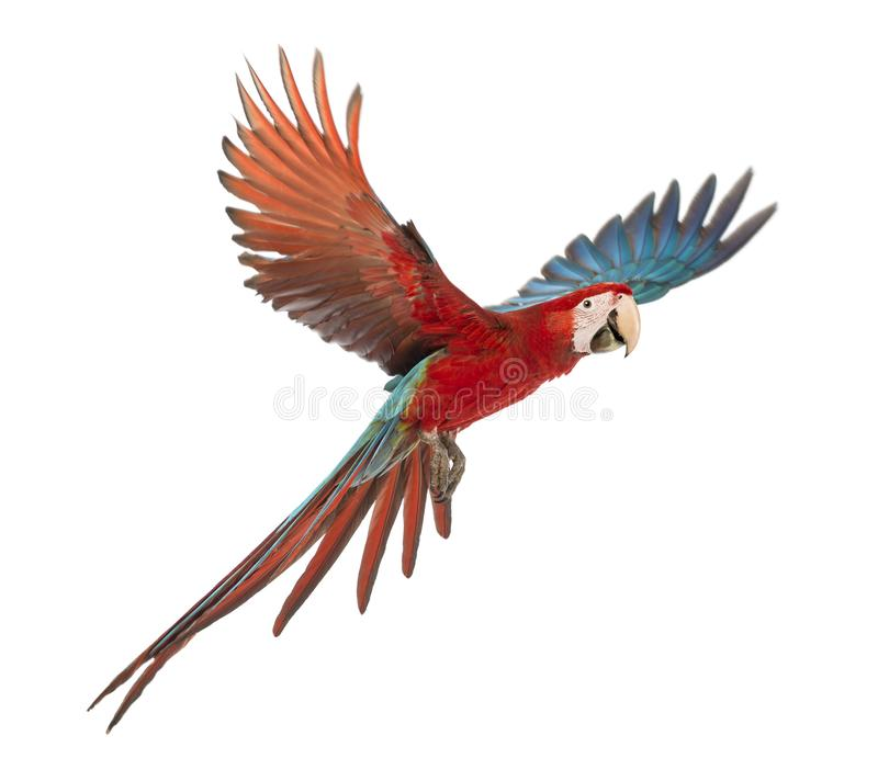 Green-winged Macaw, Ara chloropterus, 1 year old, flying in front of white background stock photo