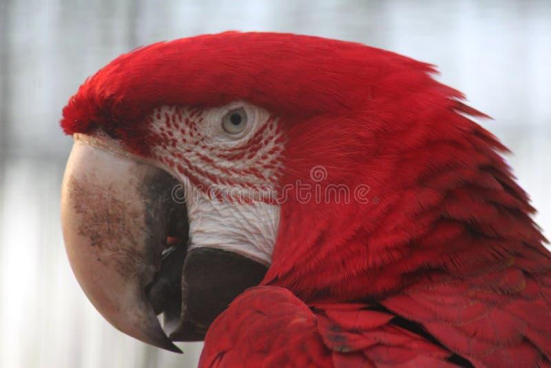 Green winged macaw. Head. Foto taken in landgoed hoenderdeall royalty free stock photography