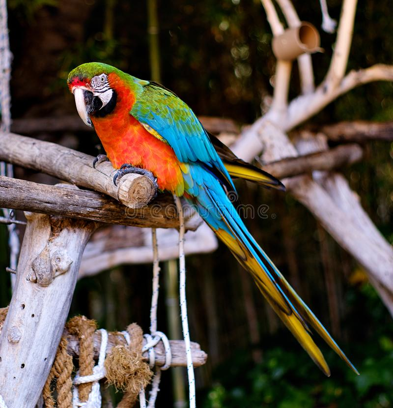 Free Green-winged Macaw Outdoors Stock Images - 160527574