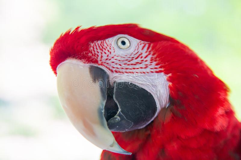 Green-Winged Red Macaw Parrot Portrait. Looking Slightly Up royalty free stock photo