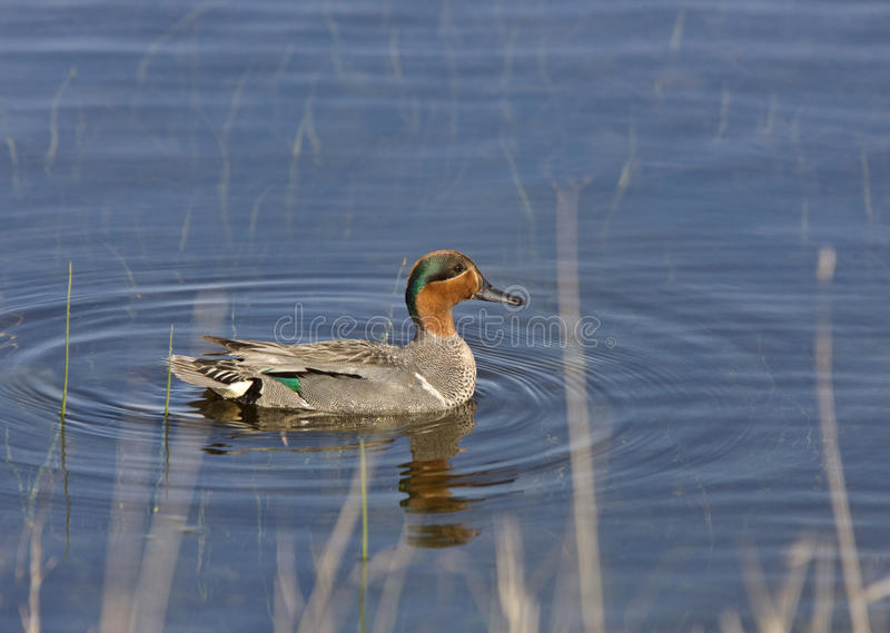 Download Green Winged Teal stock photo. Image of bright, duck - 23987770