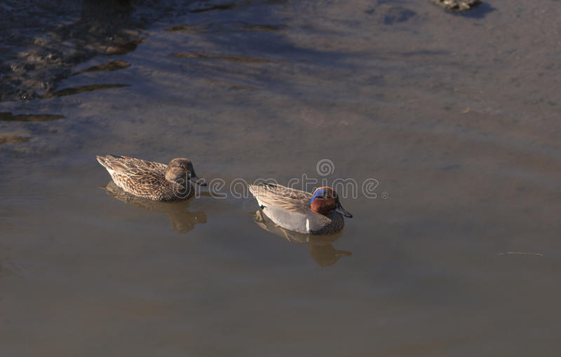 Green winged teal duck. Green winged teal, Anas carolinensis, a waterfowl bird with a green stripe through its eye, swims in the marsh estuary of Upper Newport stock photography