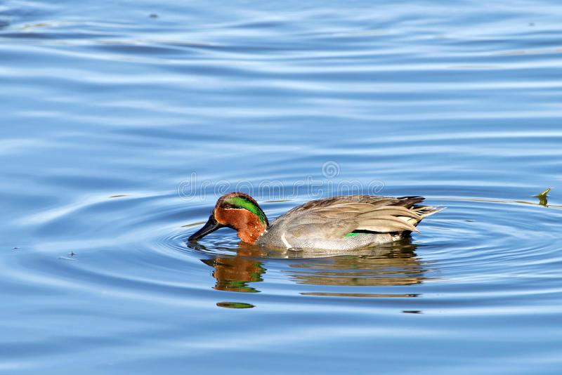 Green winged teal duck swimming on a lake royalty free stock photos