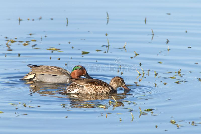 Green winged teal ducks, male and female searching for food on a lake. Pair of Green Winged Teal duck foraging for food in shallow marsh water. The green winged royalty free stock photos