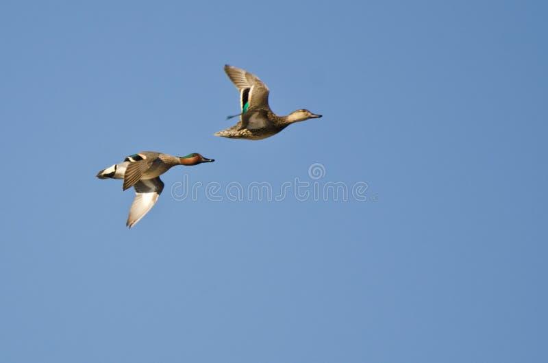 Green-Winged Teal Flying in een Blauwe Hemel stock afbeelding