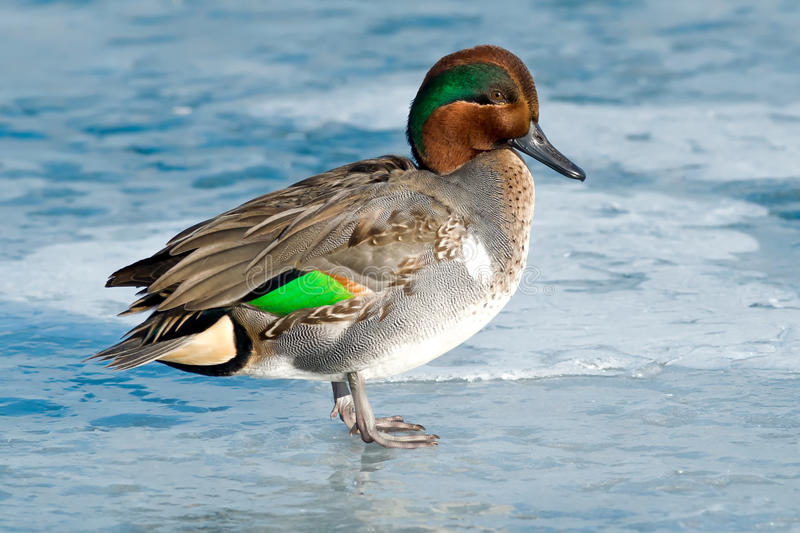 Green-winged Teal. Green-winged Teal standing on the ice royalty free stock image
