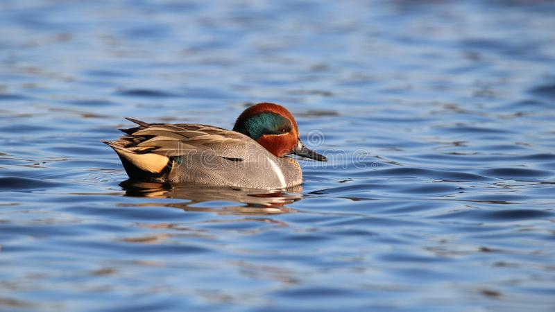 Green Winged Teal Swimming on Blue Water. A green winged green winged teal Anas crecca swimming on blue water. A small dabbling duck. The vertical white shoulder stock image