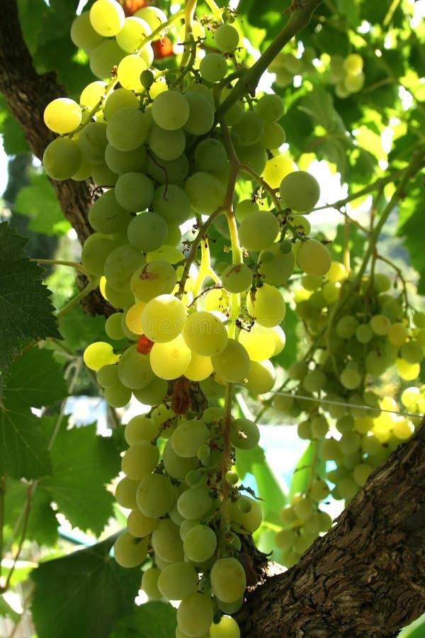 green winogron zdjęcia stock