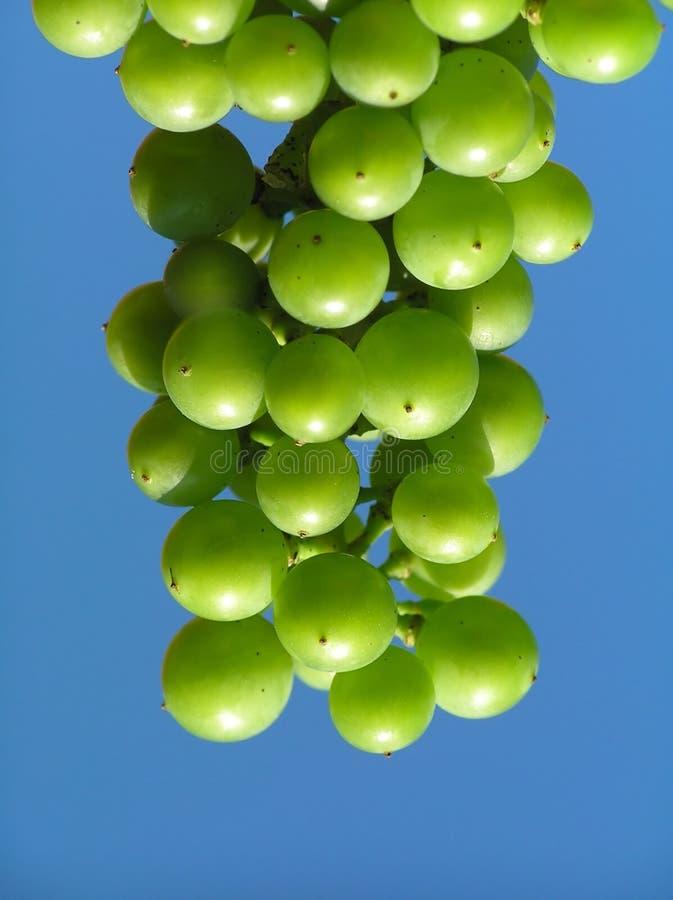 green winogron obraz royalty free