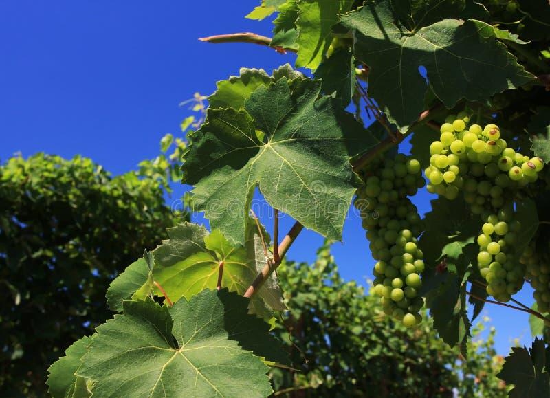 green winogron obraz stock
