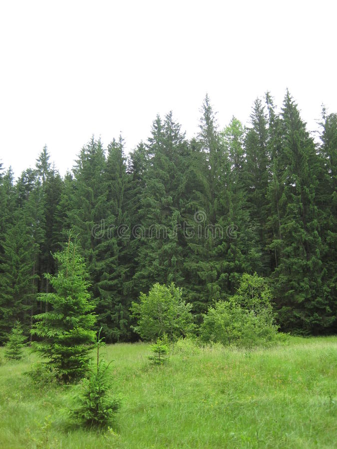 Download Green wood stock photo. Image of coniferous, wood, national - 18024384