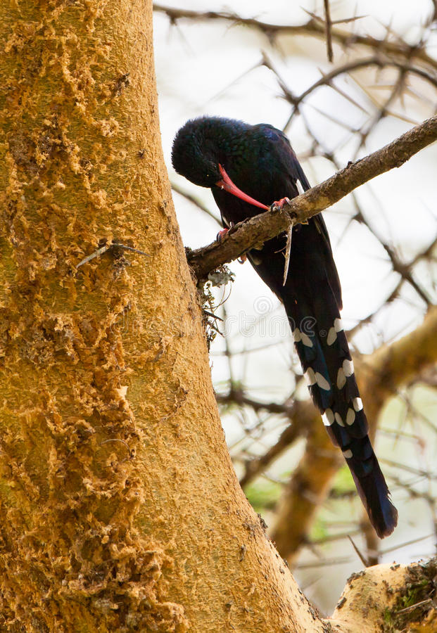 Download The Green Wood-hoopoe Stock Photography - Image: 24175342