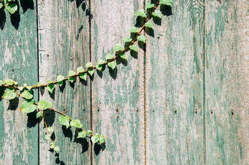 Green wooden fence with ivy leaves. Background stock image