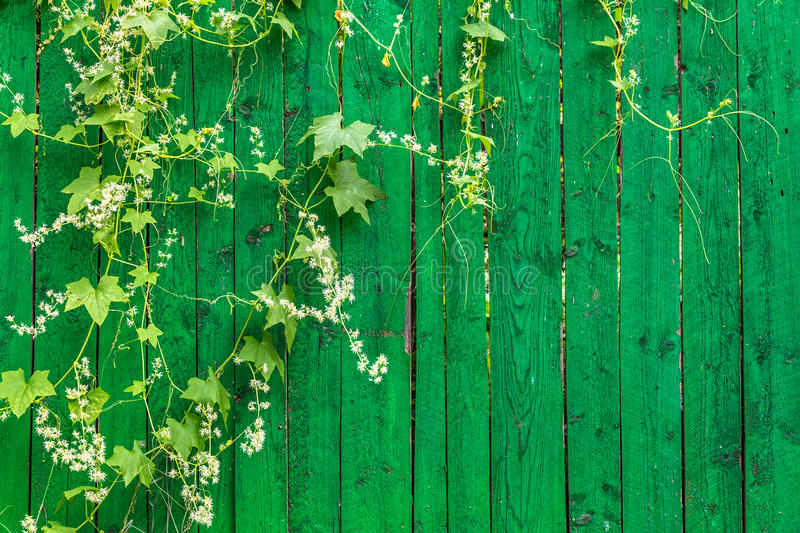 Green wooden fence and plant. Green wooden fence and hanging plant with leaves and small flowers royalty free stock images