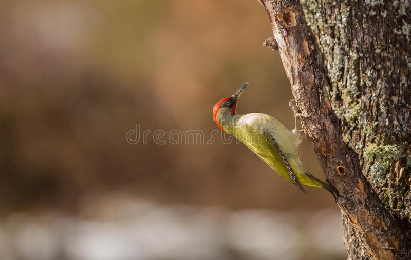 Green Woodpecker. A Green Woodpecker (Picus viridis) climbs vertically on a log, keeping it's stand with the help of it's tough tail and looking for hidden stock image