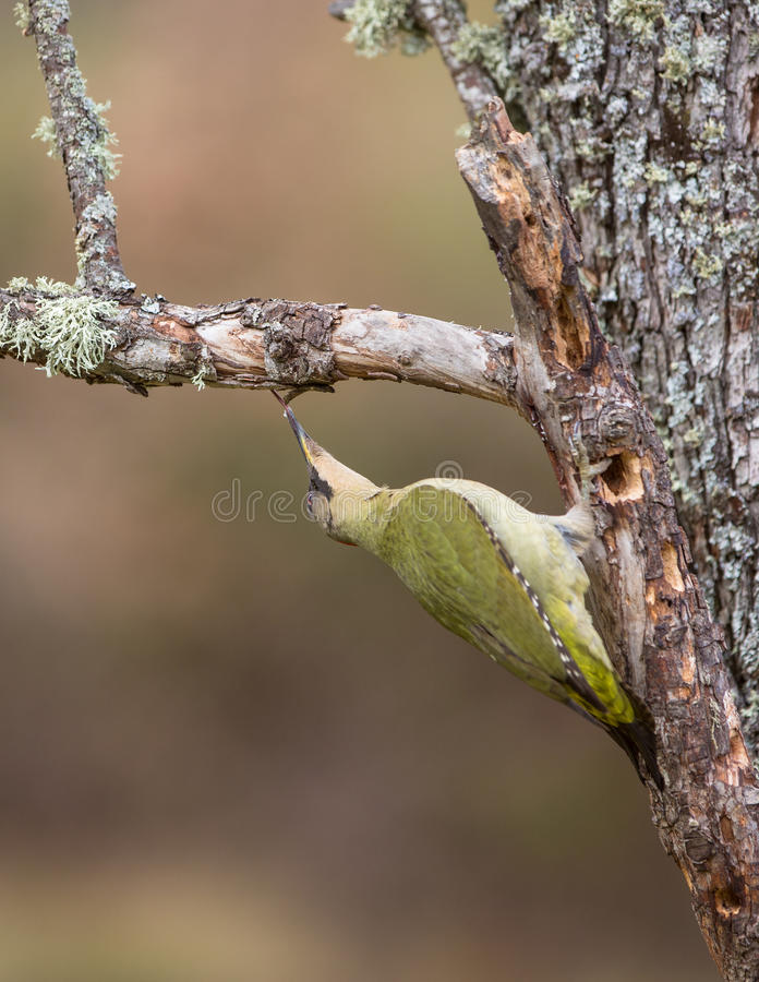 Green Woodpecker. A Green Woodpecker (Picus viridis) holding tightly on a vertical branch, uses it's long, sticky tongue to extract anything eatable from holes stock photography