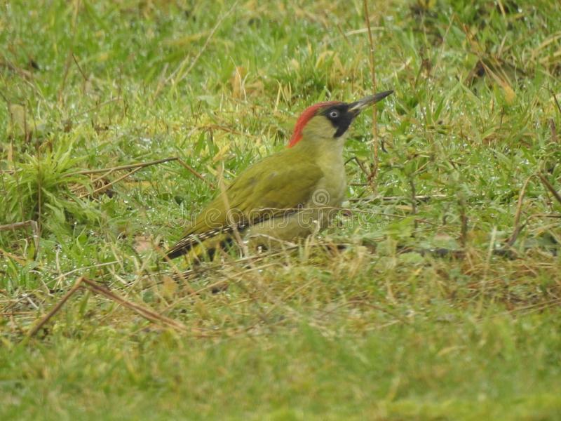 Green woodpecker in Belgium, Zottegem. Green woodpecker eating in the grass, countryside Zottegem, with a beautifull red head royalty free stock images