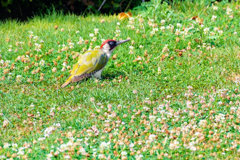 Green woodpecker, Picus Vinidis, woodpecker bird sitting on meadow. Green woodpecker - Picus Viridis - sitting in the flowering clover royalty free stock images