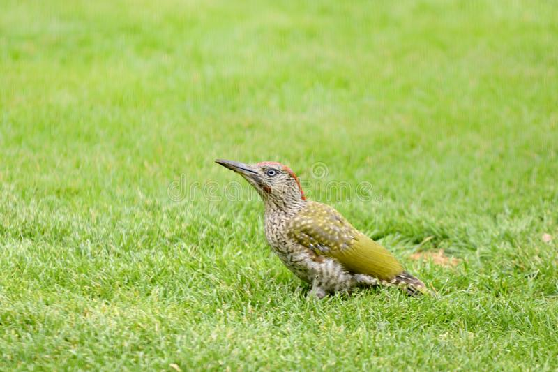 Green woodpecker, Picus Vinidis, woodpecker bird sitting on meadow. Green woodpecker - Picus Viridis - sitting in green grass looking for insects stock photo