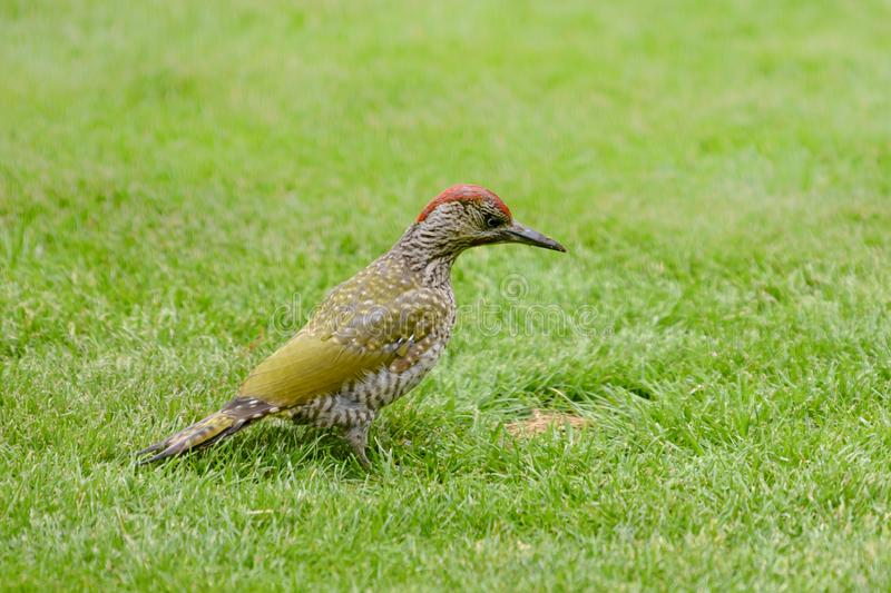 Green woodpecker, Picus Vinidis, woodpecker bird sitting on meadow. Green woodpecker - Picus Viridis - sitting in green grass looking for insects stock images