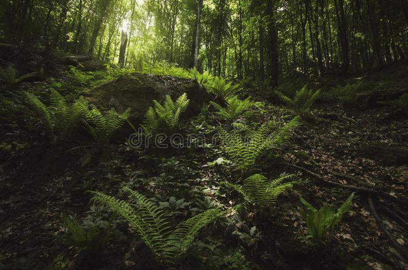 Green woods with green fern  and vegetation in summer royalty free stock photography