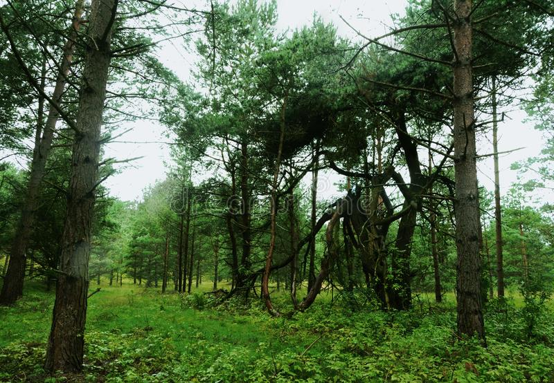 Green woods walk in misty pine forest. Filled with light royalty free stock photography