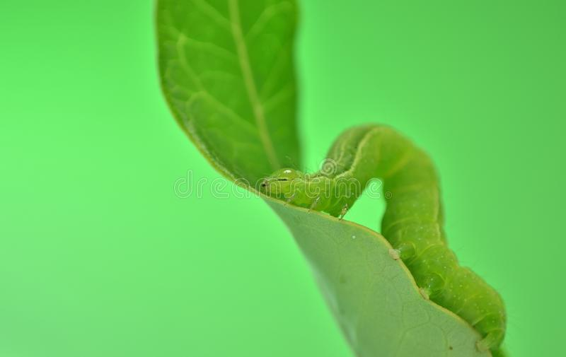 Green Worm Royalty Free Stock Photo