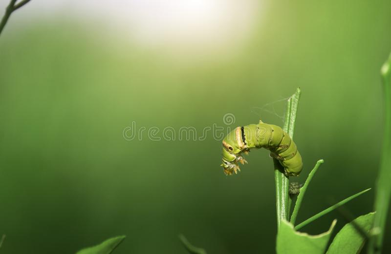 The green worm is on the soft top of the orange tree stock image