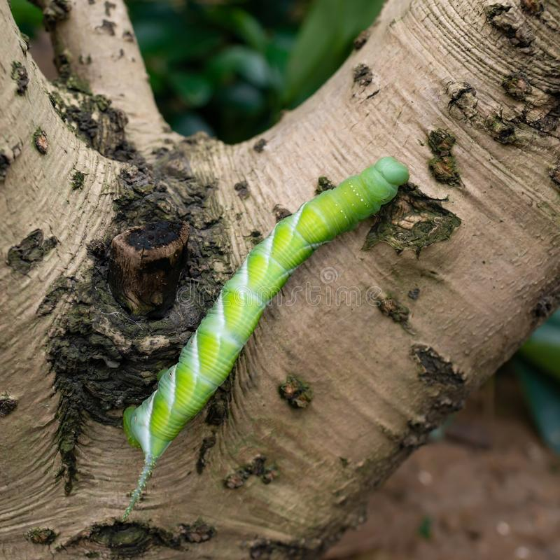 Green worm on tree royalty free stock images