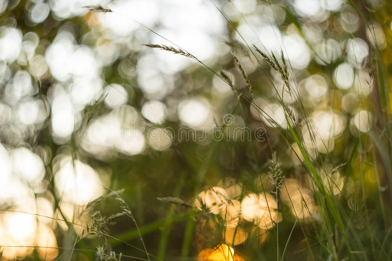 Green and yellow abstract blurred nature background. Macro, blur, bokeh. Green and yellow abstract blurred nature background with plant grass and beautiful bokeh royalty free stock images