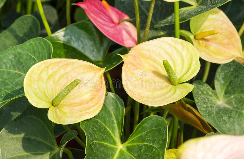 Green yellow Anthurium flower royalty free stock images