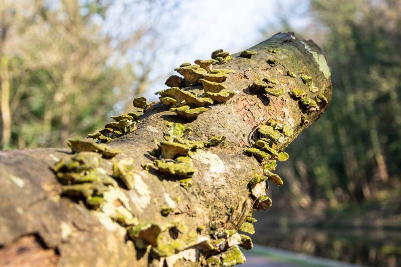 Green and yellow bracket fungi Trametes versicolor on a branch cut from a tree royalty free stock images
