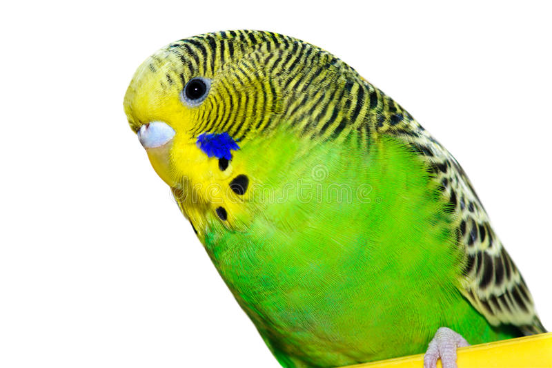 Green and yellow budgie royalty free stock photography