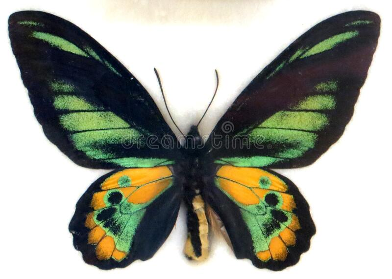 green and yellow butterfly stock photography