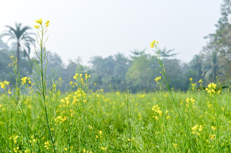 Green yellow Canola field and tree in a scenic agricultural landscape in rural Bengal, North East India. A typical natural scenery royalty free stock photo