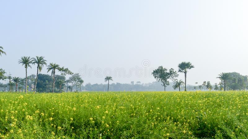 Green yellow Canola field and tree in a scenic agricultural landscape in rural Bengal, North East India. A typical natural scenery stock image