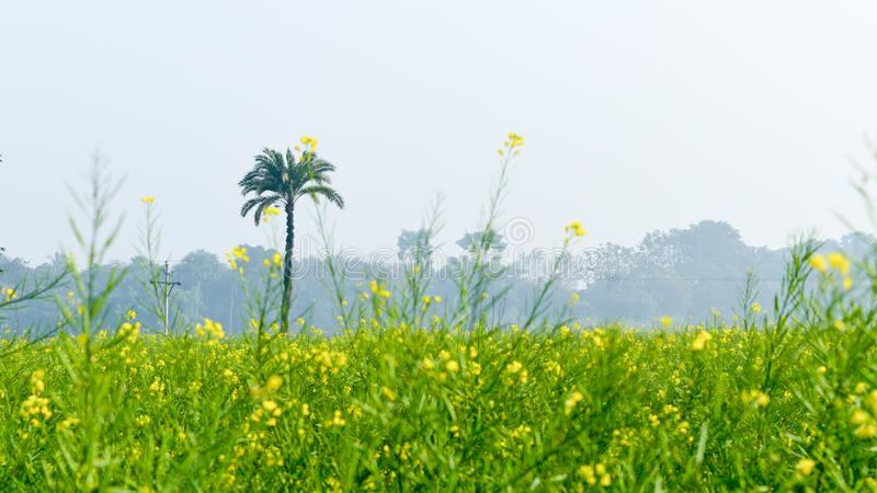 Green yellow Canola field and tree in a scenic agricultural landscape in rural Bengal, North East India. A typical natural scenery stock photos